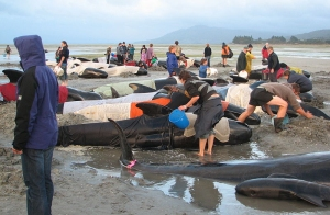 Pilot whale stranding Farewell Spit Dec 2005 Chagai cropped